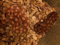 Corn snakes, reptile