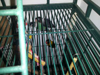 Two Lovebirds, cage and accessories -