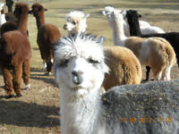 Fall in love with Alpacas