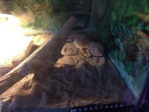 Bearded dragon with tank