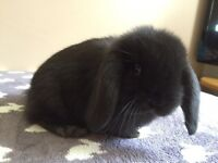 Lovely little boy mini lop