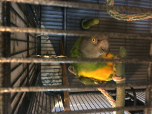 9 year old Senegal parrot