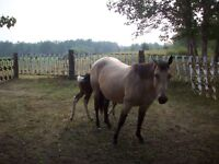 Registered Buckskin Mare
