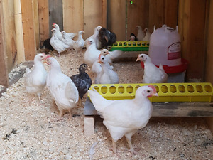 Pairs of Hybrid Leghorn Chickens for sale