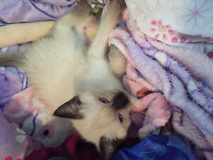 4 seal point Siamese ragdoll kittens for sale