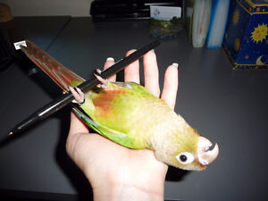 ❤★❤ Adorable,Tame CONURE Babies With CAGE❤★❤ Cambridge Kitchener Area image 9