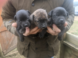 Homebred Staffordshire bull terrier puppies