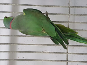 GREEN BREEDER INDIAN RING NECK MALE (NOT A PET)