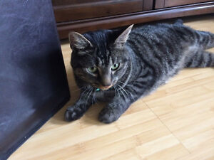Found : dark tabby near the Sheraton hotel downtown