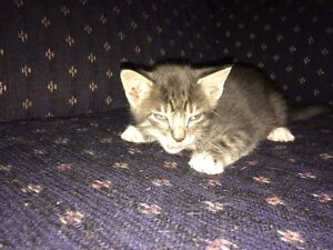 Charcoal smoke/marble Savannah cross kittens  Regina Regina Area image 4