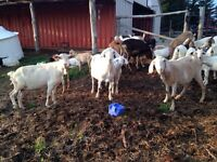 Goats for sale