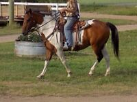 Well broke big strong pinto gelding