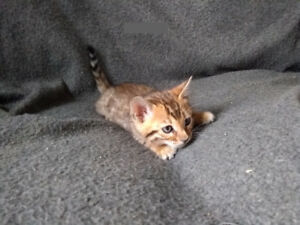 Beautiful Pure Bread Bengal Kittens