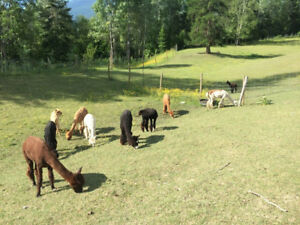 ALPACA HERD DISPERSAL