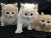 Rare Champange Color Polydectial kittens