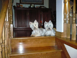 Rehoming Westies - We can find a home for your westie/westie mix