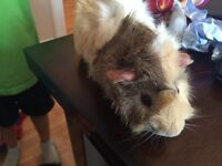 1 year old male guinea pig to give away