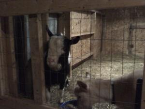 2 chevre male de race laitiere a vendre 250$ pour les deux