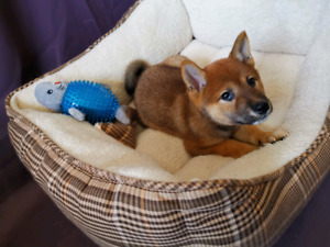 Gorgeous Registered Shiba Inu Puppies