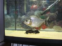 "9"" Serrasalmus Marginatus piranha(très rare)poisson,fish"