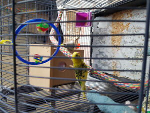 Love birds for sale very cheap price great offer