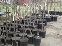 Flowering Crab Apples, Apple, Cherry, Plum/ potted fruit trees