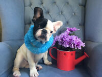 Gorgeous French Bulldog Puppy For Sale