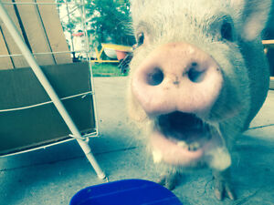 LOOKING FOR A PIG FRIEND