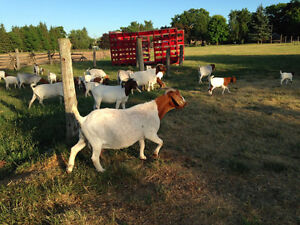 PURE BRED BOER GOAT HERD FOR SALE