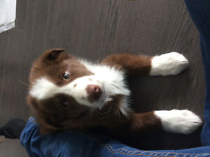 Border Collie/Australian Shepherd Puppy for Rehome