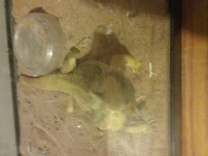 1 Female and 2 male bearded dragon with tank(s)