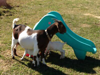 Boer goat and her 2 babies