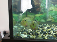 F1 couple Amphilophus Trimaculatus(Trimac Cichlid)--fish,poisson