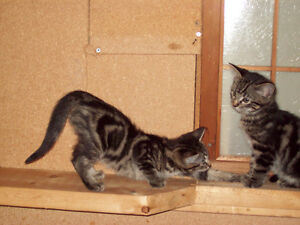 FUN PLAYFUL BENGAL KITTENS FULL OF PERSONALITY AVAILABLE