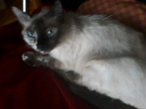 Tortoishell Siamese 2 year old cat (fully vetted)
