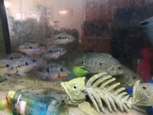 Cichilds fish