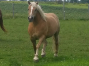 Beautiful Registered Haflinger Mare