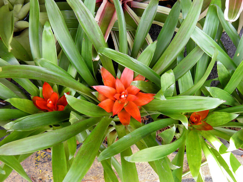 How to Propagate Bromeliads