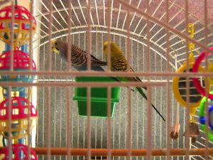 BEAUTIFUL BUDGIES On Special--$20.00