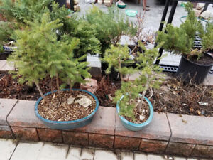 bonsai trees and pots for sale
