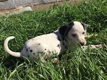 Dalmatian puppy Adelaide CBD Adelaide City Preview