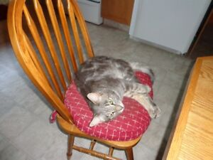 2 beautiful gray Tabby cats to give away