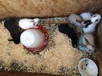 adorable holland lop/dwarf mix rabbits!