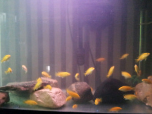 """Electric Yellow labs 1 1/2 to 2"""" cichlids"""