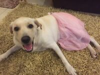1 year old female lab look for a new home (for sale)