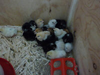 WE HAVE BABY CHICKENS REDY FOR PICK UP MAY TO JULY