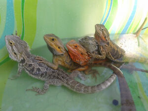 Reptile Baby-Sitter