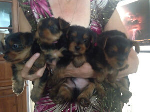 Yorkie Puppies. IT'S ALMOST TIME TO GO TO THEIR FOREVER HOMES