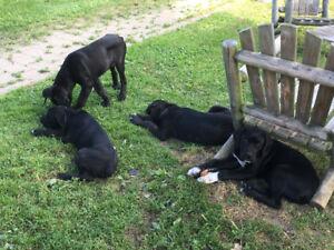 masstiff puppies