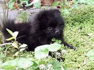 RARE black pure-bred teacup Pomeranian puppy